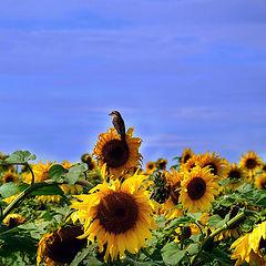 """photo """"#птичка#природа#подцолнух"""""""