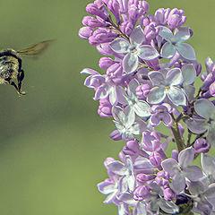 """фото """"Bumble-bee"""""""