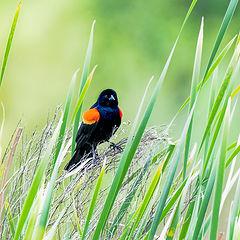 "photo ""Red-winged blackbird"""