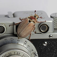 "photo ""Cockchafer"""