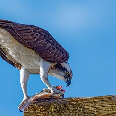 "photo ""Osprey"""