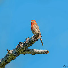 "photo ""House finch"""