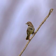 "photo ""Sparrow"""