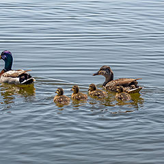 "photo ""Mallard with baby mallards swimming"""