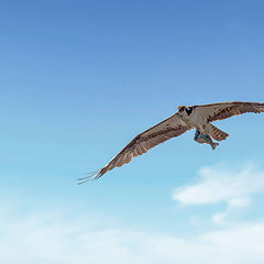 """photo """"Osprey with cach fo the day"""""""