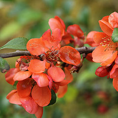 "photo ""The quince bloomed"""