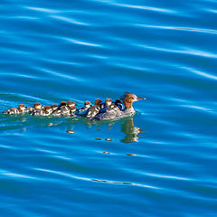 "фото ""Red-breasted merganser with babies"""