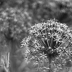 """фото """"Allium cristophii"""""""