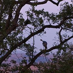 """фото """"Дикие Индюки спят на деревьях"""""""