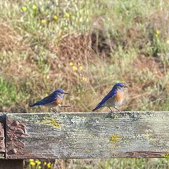 """photo """"Можно Вас побеспокоить. (синие птички на старом заборе)"""""""