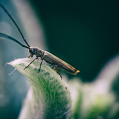 """фото """"Phytoecia nigricornis"""""""