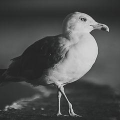 """photo """"gull"""""""