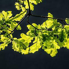 """photo """"Oak Branch"""""""