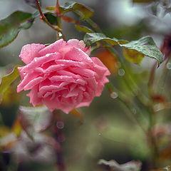 """фото """"Плачущая роза"""""""