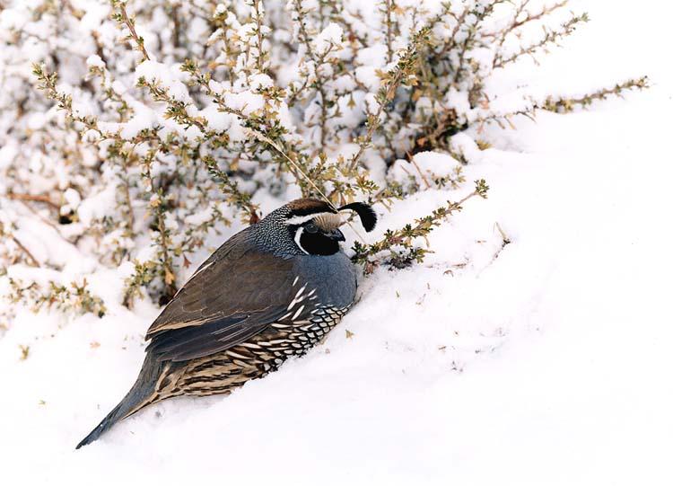 """фото """"California Quail in Snow"""" метки: природа, дикие животные"""