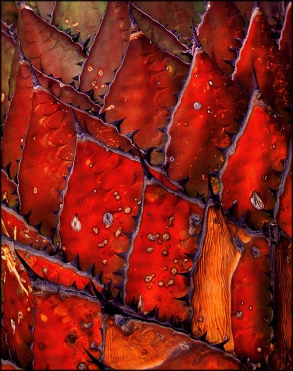 "фото ""Cactus Leaves"" метки: разное, природа, цветы"