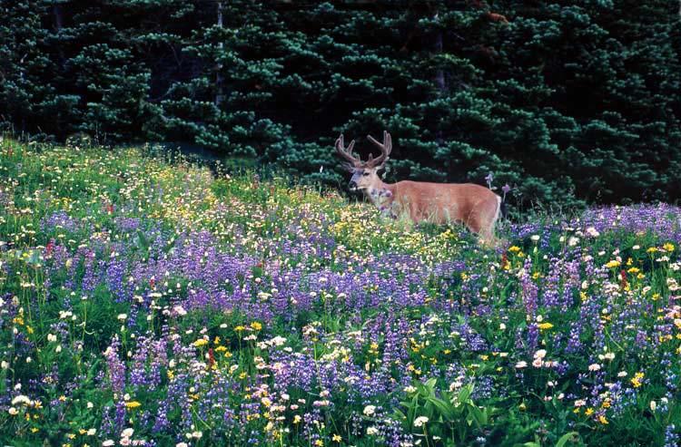 """фото """"Olympic Deer - Olympic National Park"""" метки: разное, природа, дикие животные"""