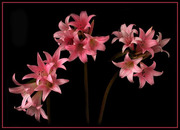 "фото ""Lilys"" метки: природа, цветы"