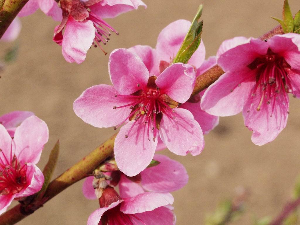 легко картинка цветущего персиками рубец это разновидность