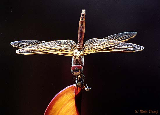 """photo """"Dragon Fly"""" tags: nature, insect"""