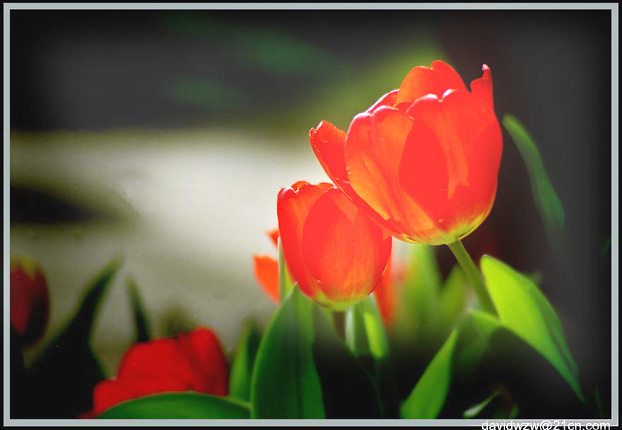 "photo ""Tulip"" tags: misc., nature, flowers"