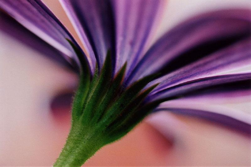 """фото """"Tepid"""" метки: макро и крупный план, природа, цветы"""