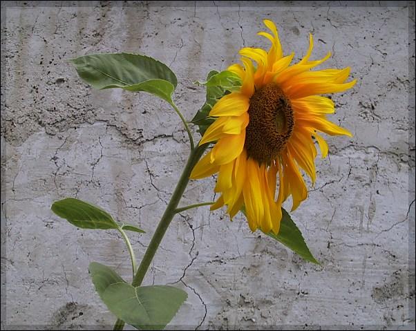 "фото ""Sunflower"" метки: природа, цветы"