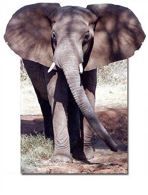 """фото """"Elefant"""" метки: природа, путешествия, Африка, дикие животные"""