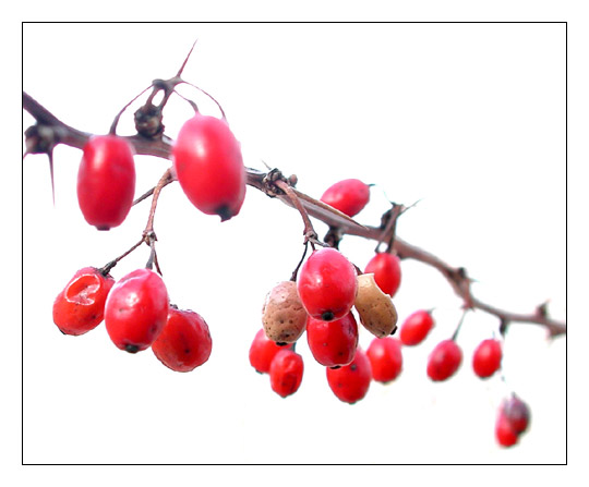 "photo ""OOP. Winter Berries. Polymorphysm."" tags: macro and close-up, nature, flowers"