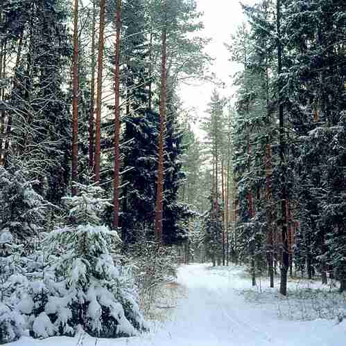 "photo ""A forest in Latvia"" tags: landscape, forest, winter"