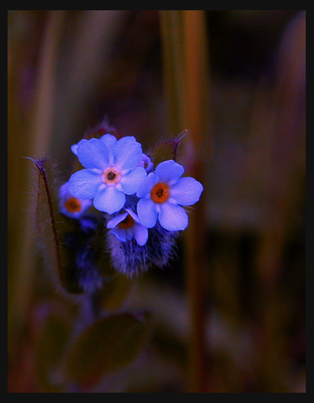 "photo ""True Blue"" tags: macro and close-up, nature, flowers"