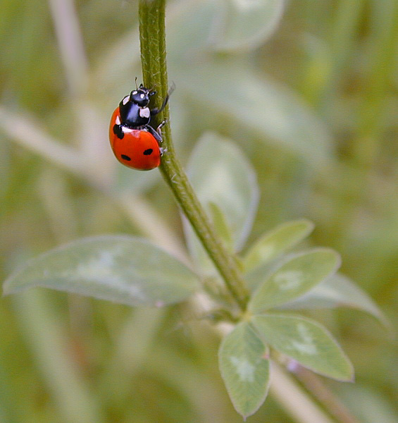 "photo ""Ladybug"" tags: macro and close-up, nature, insect"