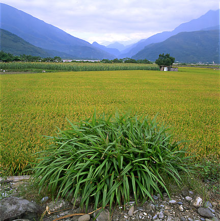 "photo ""The Rice Field in the east of Taiwan"" tags: misc., landscape,"