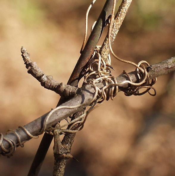 "фото ""Lover`s Knot"" метки: природа, цветы"