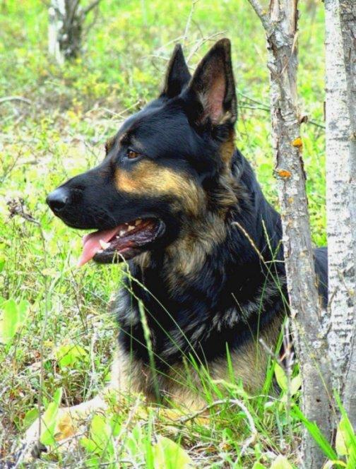 """photo """"Sabre-portrait of a German Shepherd Dog"""" tags: nature, portrait, pets/farm animals"""
