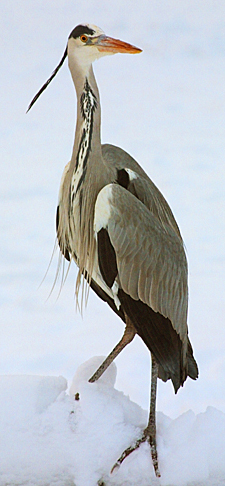 "photo ""Heron i Snow"" tags: nature, wild animals"