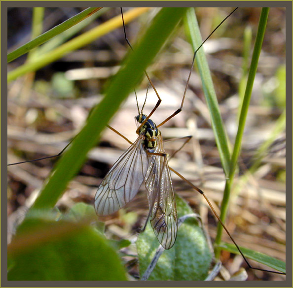 """photo """"Mosquito"""" tags: macro and close-up, nature, insect"""