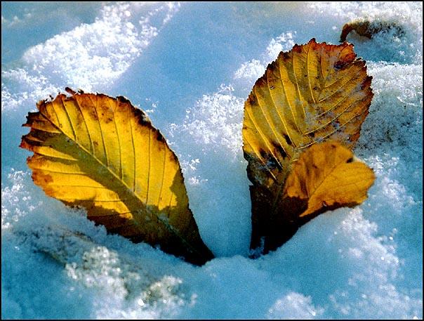 "фото ""Желтые на белом."" метки: пейзаж, натюрморт, зима"