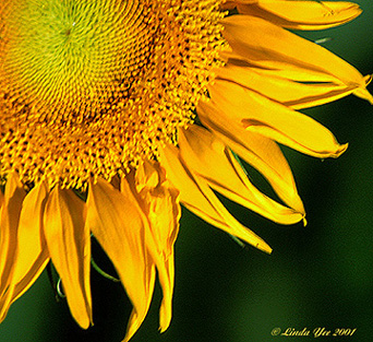 "photo ""Essence of a Sunflower"" tags: nature, flowers"
