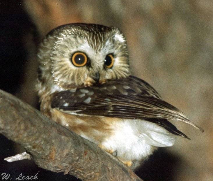 "photo ""Saw-whet Owl"" tags: nature, misc.,"