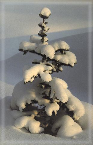 "фото ""Елочка"" метки: природа, пейзаж, зима, цветы"