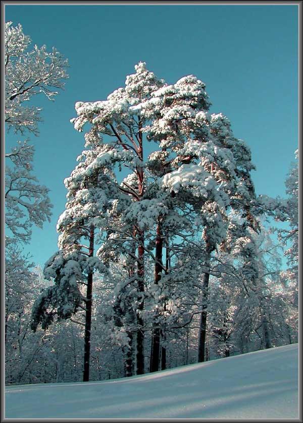 """фото """"Сосны."""" метки: пейзаж, зима"""