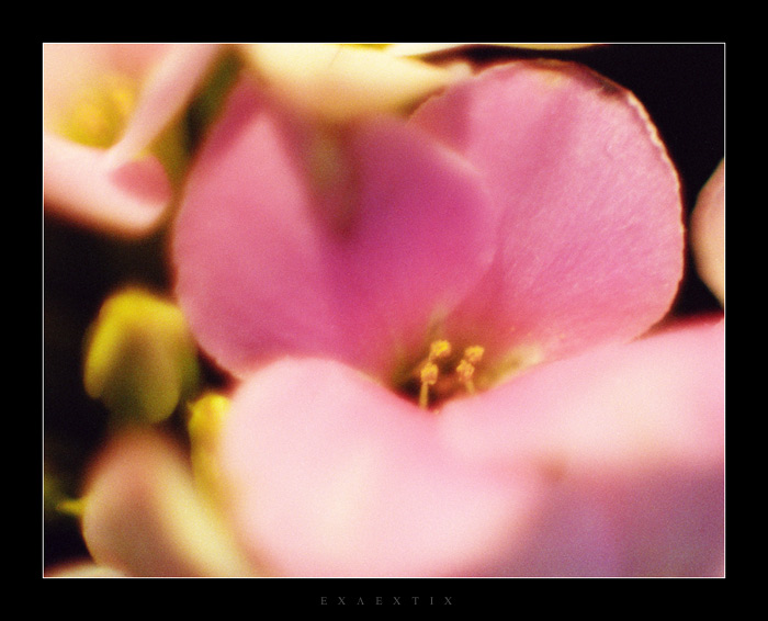 "photo ""Pink"" tags: nature, flowers"