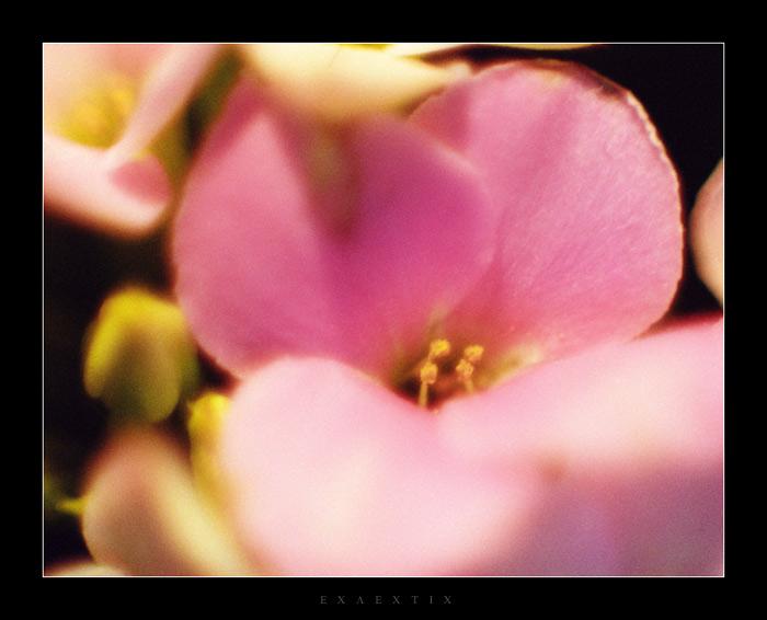 """фото """"Розовое"""" метки: природа, цветы"""