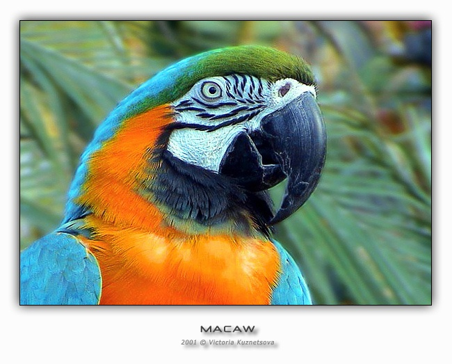 "photo ""Macaw"" tags: nature, wild animals"