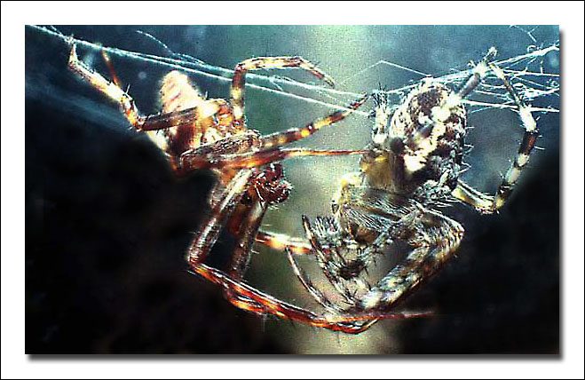 "photo ""Spiders"" tags: nature, macro and close-up, insect"