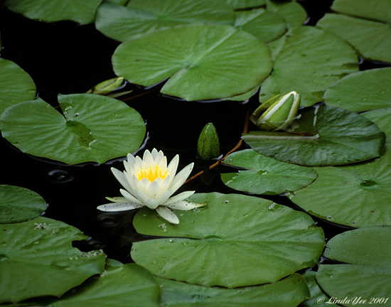 "photo ""Water Lily Garden"" tags: nature, flowers"