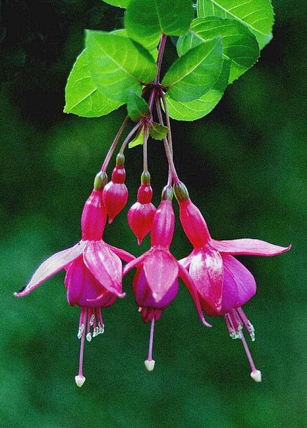 "photo ""Fuchsia"" tags: nature, flowers"