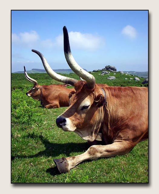 "photo ""two cows"" tags: nature, pets/farm animals"