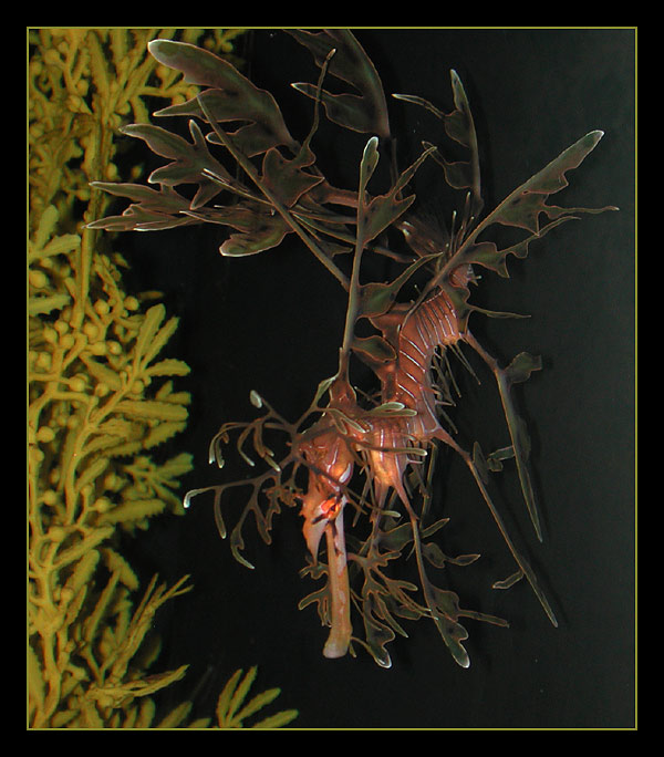"photo ""Leafy Sea Dragon (Phycodurus equus)"" tags: nature,"